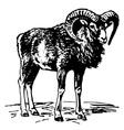 mouflon vector image vector image