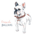 sketch domestic dog french bulldog breed vector image