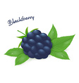 realistic isolated ripe blackberry with leaves vector image
