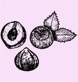 Hazelnuts leaves vector image