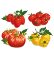 tomatoes vector image vector image