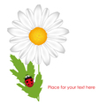 chamomile with ladybird vector image vector image