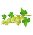 gooseberry vector image vector image