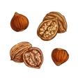 Hazelnut and walnut sketch for healthy food design vector image