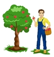 Young man picking apples in an orchard vector image