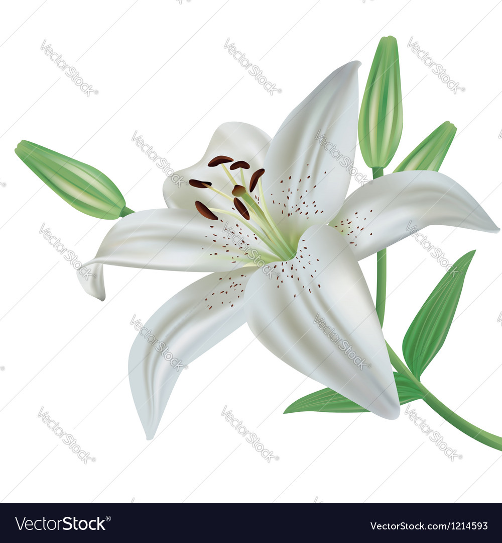Lily flower isolated on white background vector
