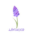 stylized lavender icon vector image