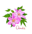 Clematis Sketch with watercolor imitation texture vector image