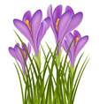 Realistic purple crocus vector image