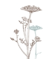umbellate plant vector image vector image