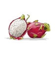 Dragon Fruit pitahaya sketch for your design vector image