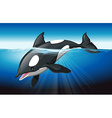 Killer whale swimming in the ocean vector image