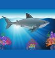 great white shark swimming in the ocean vector image