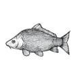 carp fish hand drawn isolated icon vector image