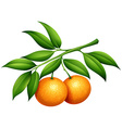 Oranges with stem and leaves vector image