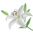 Lily flower isolated on white background vector image