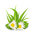 camomile flowers with grass on white background - vector image