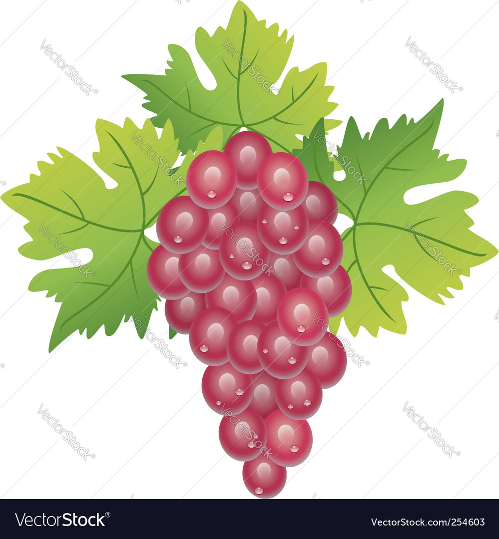 Purple grape vector