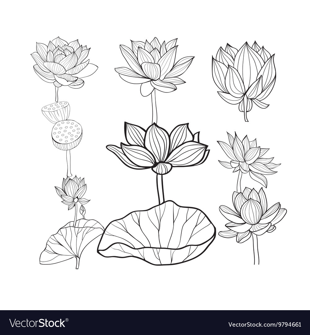 Hand drawn lotus flowers and leaves vector