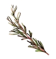 Rosemary hand drawn sketch vector image vector image