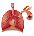 Lungs and bronchus vector image