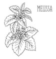plant melissa vector image