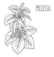 plant melissa vector image