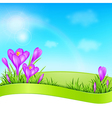 Spring background with violet crocus vector image