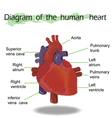 Human Heart Anatomy vector image