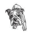 Young bulldog vector image