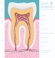 tooth medical anatomy with words vector image vector image