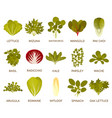 green salad plants vector image