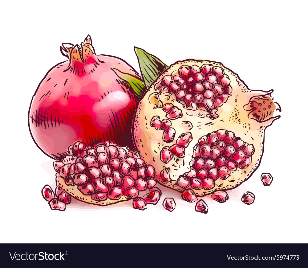 Pomegranate watercolor imitation vector