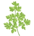 Parsley vector image vector image