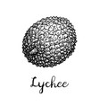 ink sketch of lychee fruits vector image