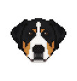 swiss mountain dog head in pixel art style dog vector image