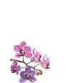 watercolor orchid branch on white background vector image
