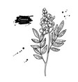 senna drawing isolated medical flower and vector image