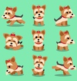 Cartoon character yorkshire terrier dog poses set vector image