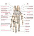 Ligaments of the hand vector image vector image