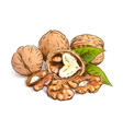 Walnut Watercolor with sketch imitation vector image