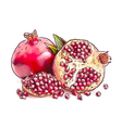 Pomegranate Watercolor imitation vector image