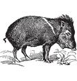 Wild Pig vector image