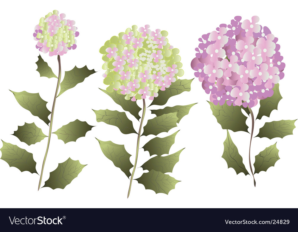 Three hydrangea vector