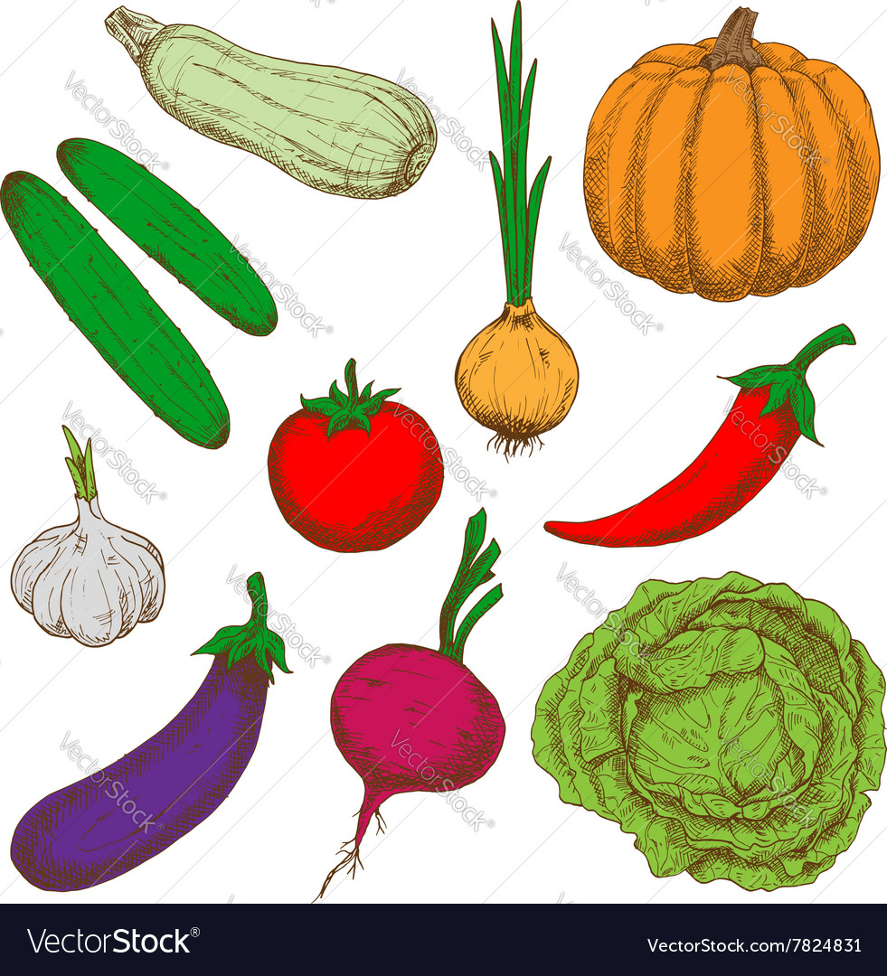 Healthy farm vegetables color sketches vector