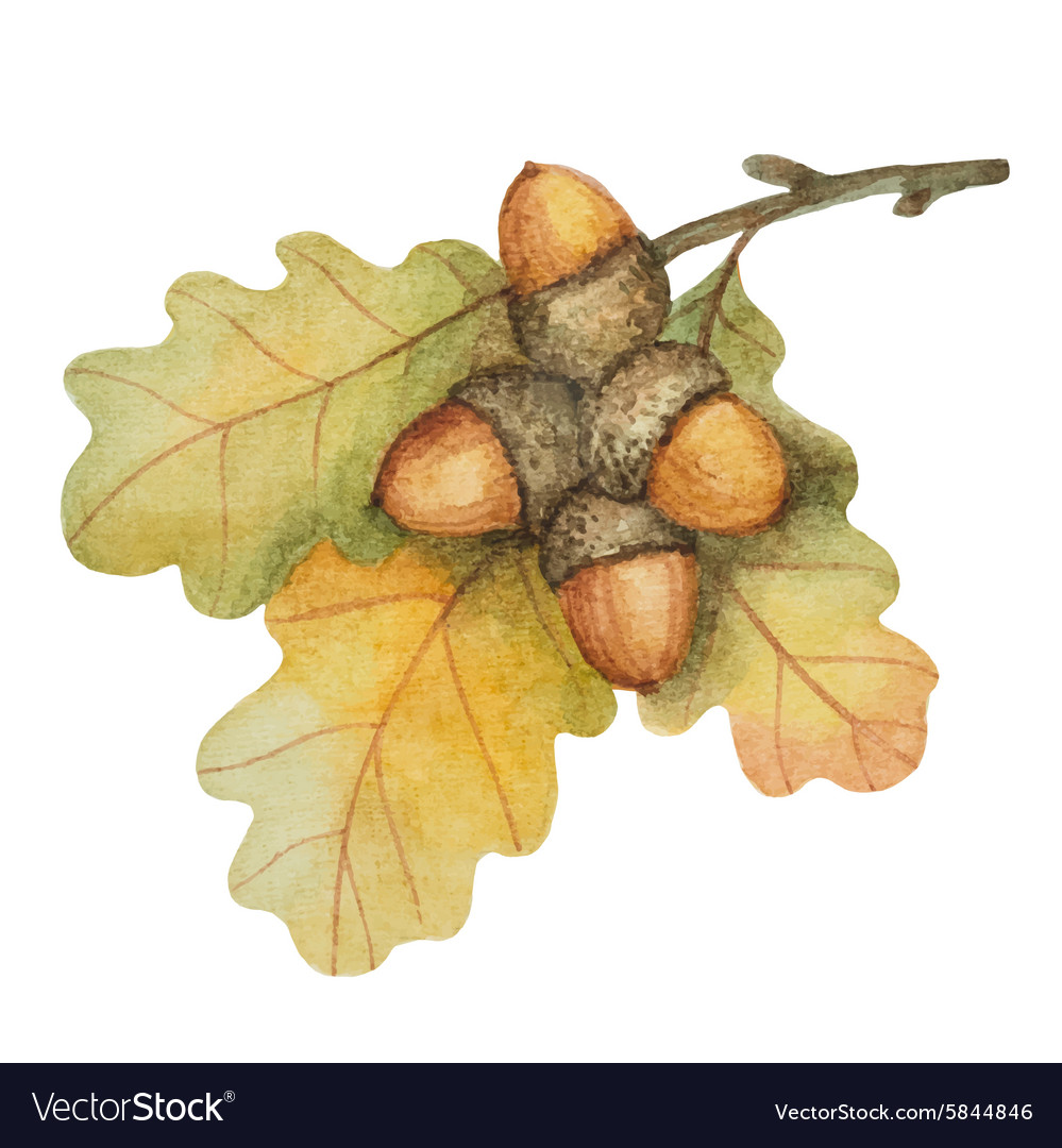 Watercolor oak branch with acorns vector
