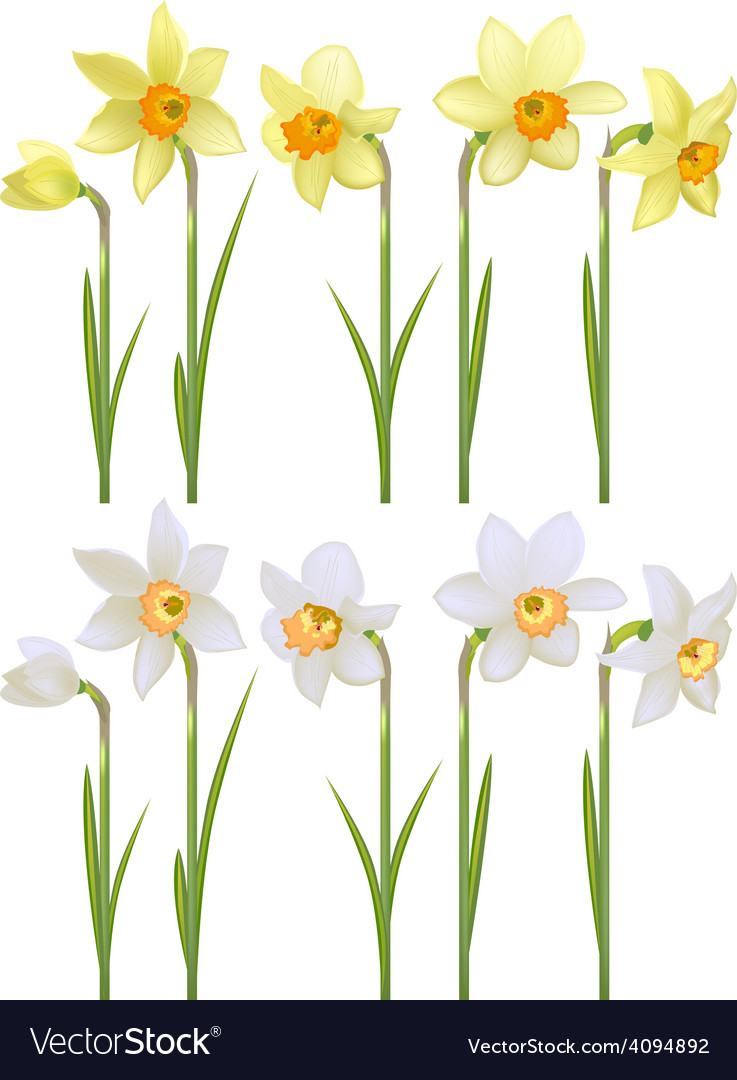 Set with white and yellow realistic daffodils vector