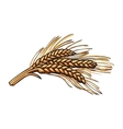 Hand drawn bunch of malt barley ears vector image