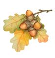 Watercolor oak branch with acorns vector image