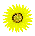 Elegant Perfect Yellow Sunflower on White vector image